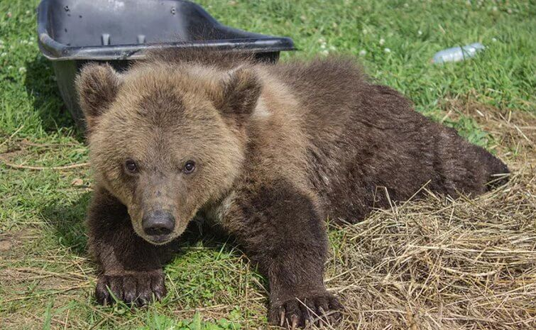 Веб-камера – Медведь Мансур (Россия)